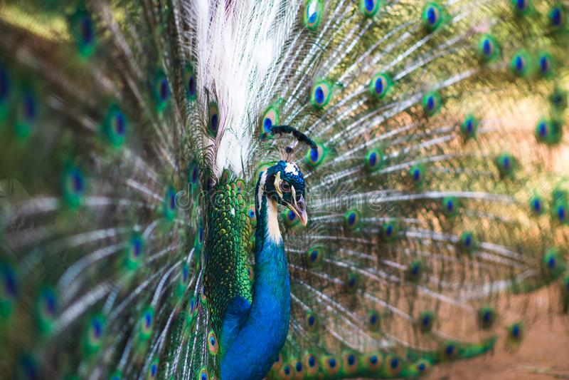 Porträt des schönen Pfaus mit Federn heraus lizenzfreie stockbilder