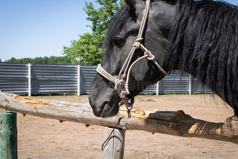 Porträt des schwarzen asiatischen Pferds lizenzfreie stockbilder