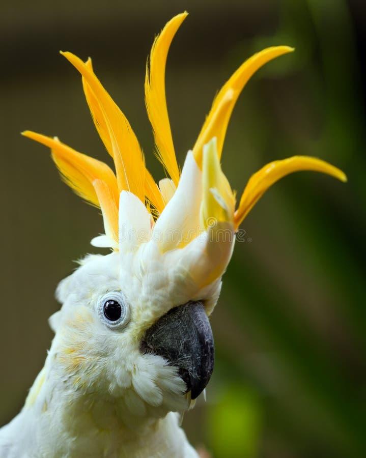 Porträt des Schwefel-Kakadus mit Haube stockfotografie