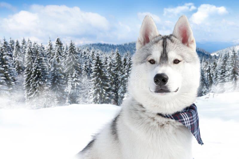 Porträt des sibirischen Huskys lizenzfreie stockfotos
