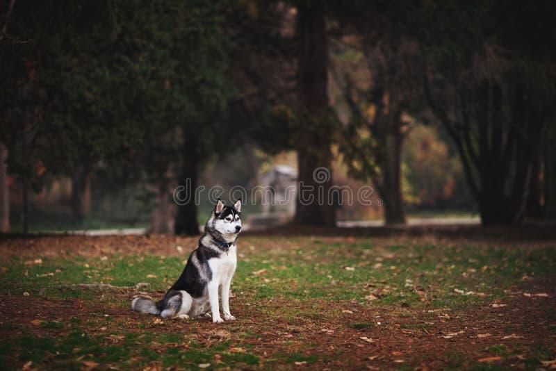 Porträt des sibirischen Huskys im Park lizenzfreie stockbilder