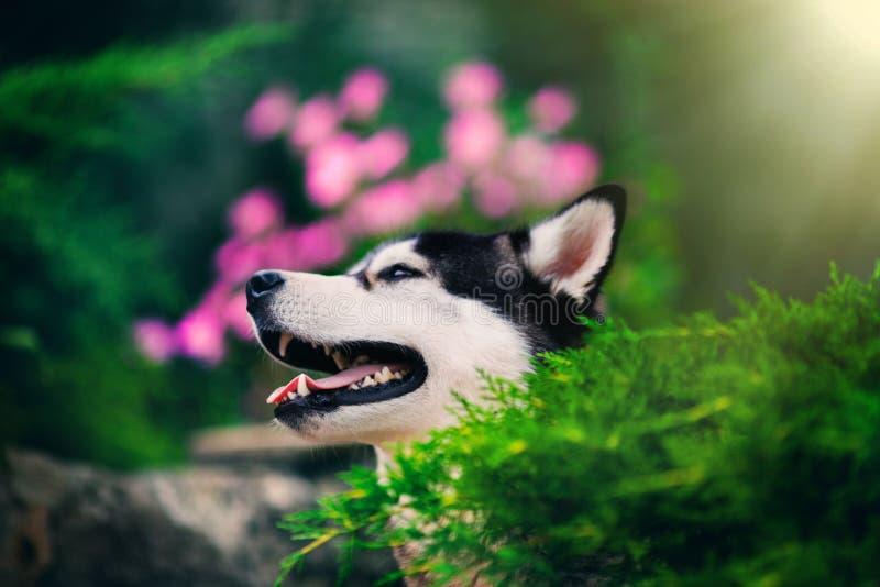 Porträt des sibirischen Huskys mit Blumen und Sonne stockfotos