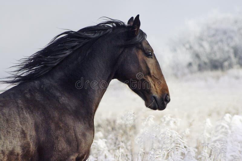 Porträt des Stallion lizenzfreie stockbilder