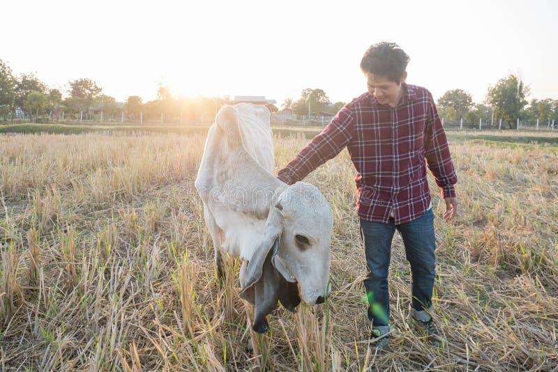 Porträt des thailändischen Cowboys und der Kühe auf einem Gebiet stockbilder