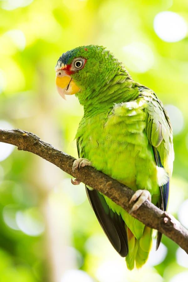 Porträt des Weiß-konfrontierten Papageien lizenzfreie stockbilder