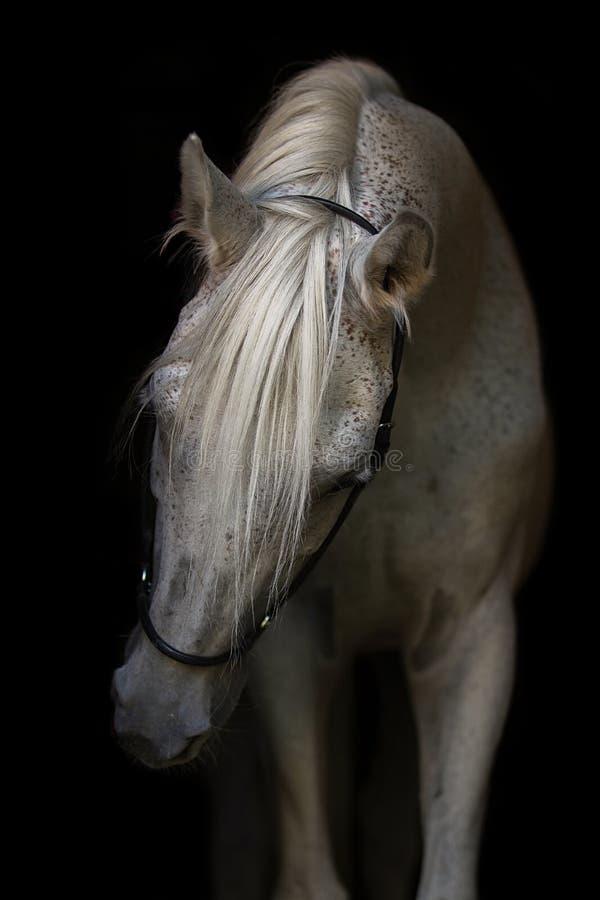 Porträt des weißen arabischen Hengstes lizenzfreie stockbilder