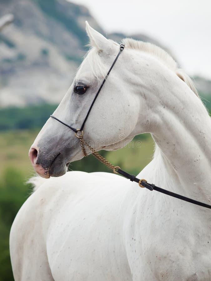 Porträt des weißen arabischen Hengstes am Gebirgshintergrund stockbilder