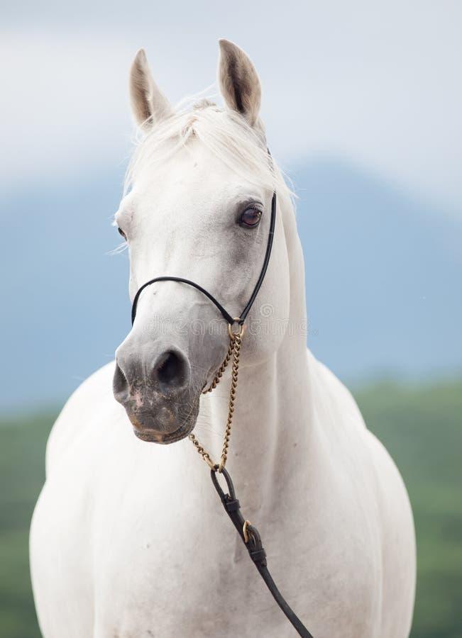 Porträt des weißen erstaunlichen arabischen Hengstes stockfoto