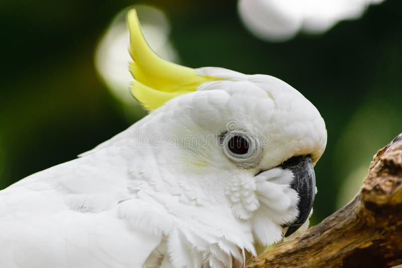 Porträt des weißen Gelbhaubenkakadus stillstehend auf Niederlassung lizenzfreie stockbilder