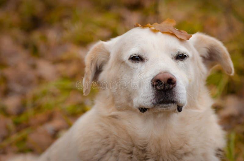 Porträt des weißen Hundes mit einem Blatt auf dem Kopf lizenzfreies stockbild