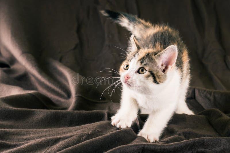 Porträt des weißen Kätzchens mit den schwarzen und roten Stellen auf braunem Teppich stockfotografie