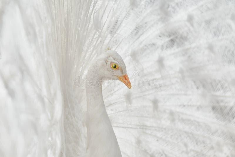 Porträt des weißen Pfaus lizenzfreie stockfotografie