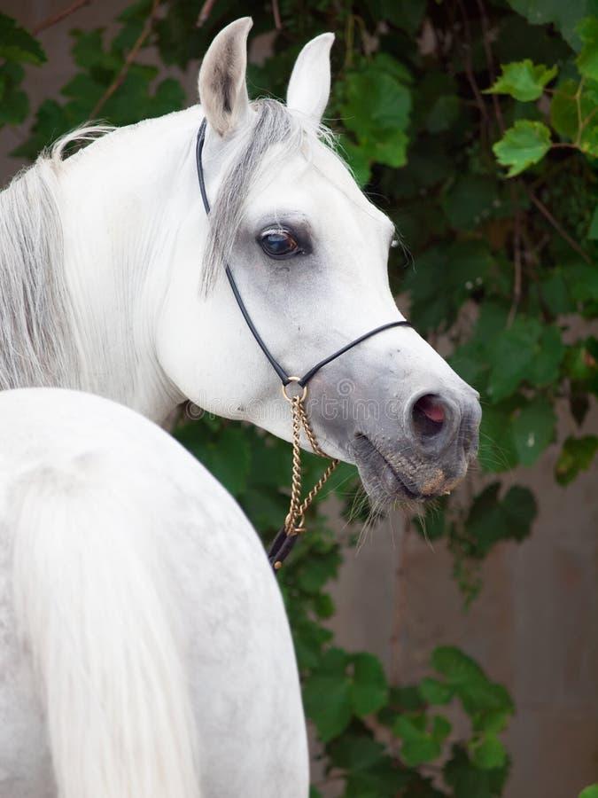 Porträt des weißen reinrassigen Arabers am Traubenhintergrund lizenzfreie stockfotografie