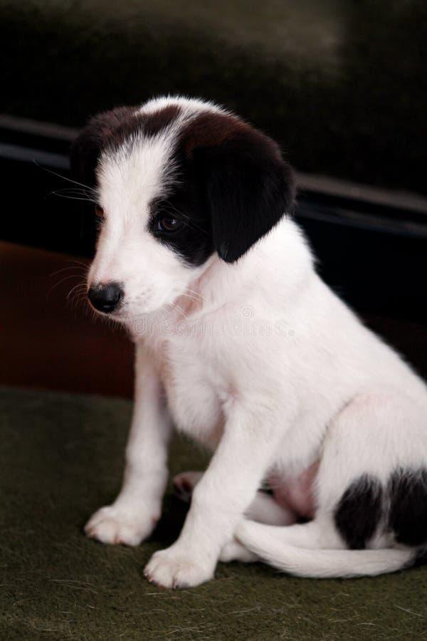 Porträt des weiblichen Hundes des kleinen Welpen wirft für Fotoaufnahme, Abschluss oben auf Kleine Mischzucht, entzückende Welpen lizenzfreie stockbilder