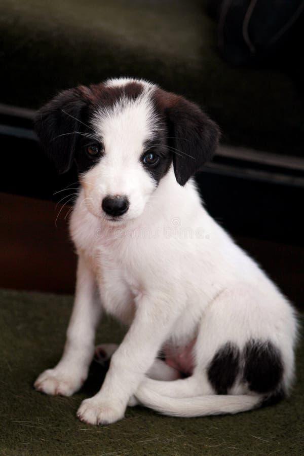 Porträt des weiblichen Hundes des kleinen Welpen wirft für Fotoaufnahme, Abschluss oben auf Kleine Mischzucht, entzückende Welpen stockbilder