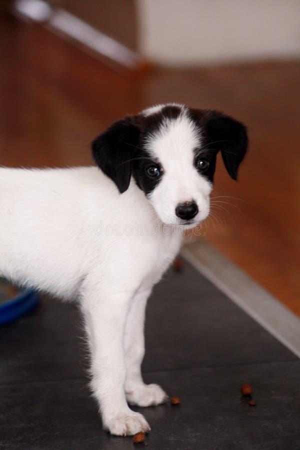Porträt des weiblichen Hundes des kleinen Welpen wirft für Fotoaufnahme, Abschluss oben auf Kleine Mischzucht, entzückende Welpen stockfotografie
