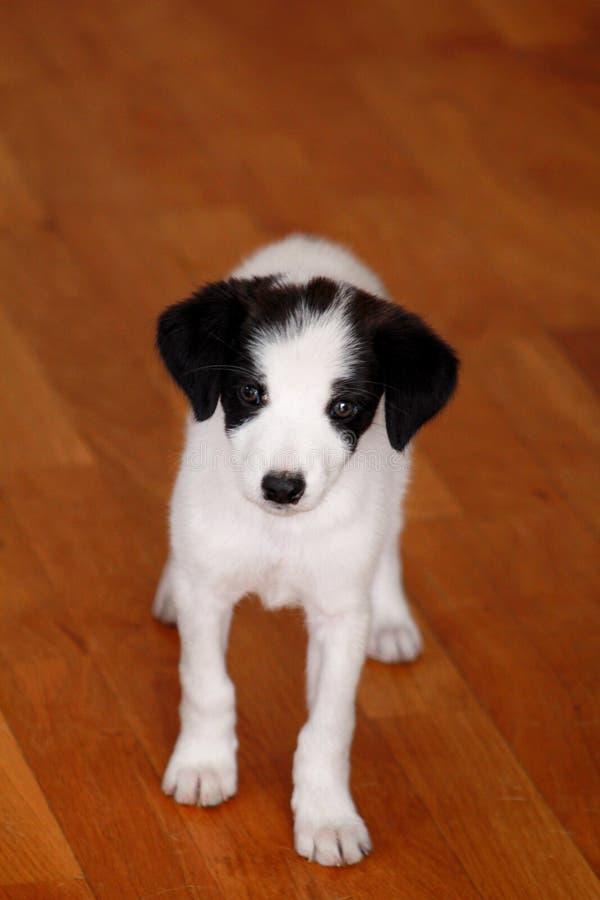 Porträt des weiblichen Hundes des kleinen Welpen wirft für Fotoaufnahme, Abschluss oben auf Kleine Mischzucht, entzückende Welpen lizenzfreie stockfotografie