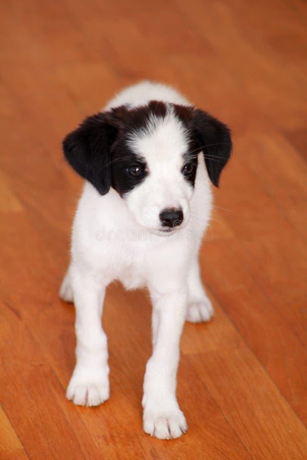 Porträt des weiblichen Hundes des kleinen Welpen wirft für Fotoaufnahme, Abschluss oben auf Kleine Mischzucht, entzückende Welpen stockfotos