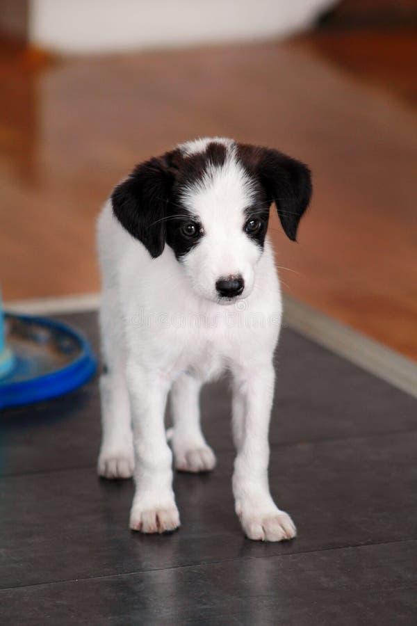 Porträt des weiblichen Hundes des kleinen Welpen wirft für Fotoaufnahme, Abschluss oben auf Kleine Mischzucht, entzückende Welpen lizenzfreies stockbild