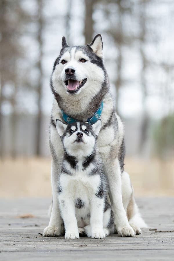 Porträt des weiblichen Schlittenhunds stockfotografie