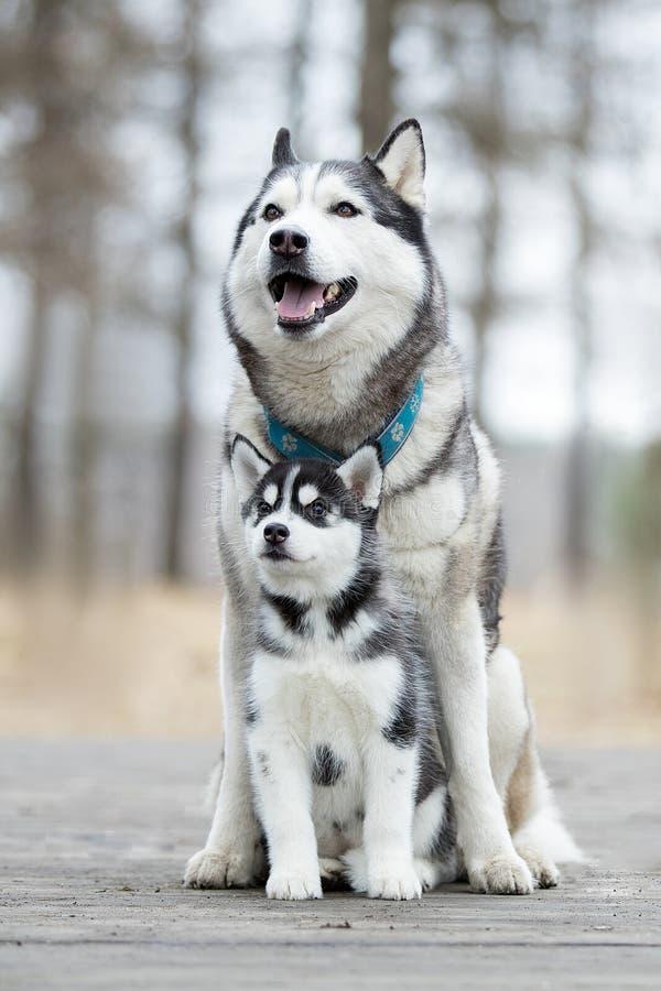 Porträt des weiblichen Schlittenhunds lizenzfreie stockfotos