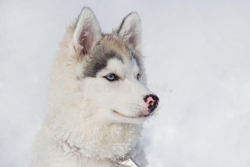 Porträt des Welpenabschlusses des sibirischen Huskys oben Dreimonatiges altes Heimtiere stockbilder