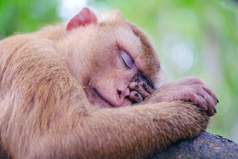 Porträt des wilden Schlafenaffen im Waldabschluß herauf Ansicht stockfotografie