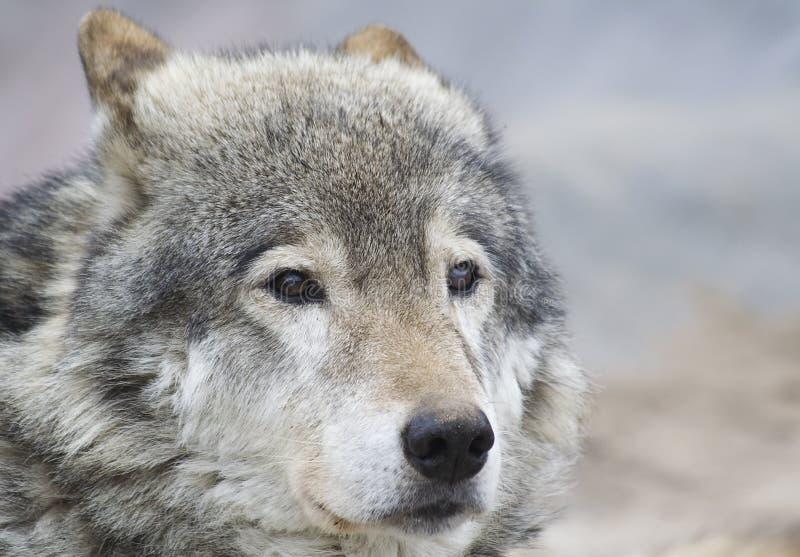 Porträt des Wolfs lizenzfreie stockfotografie