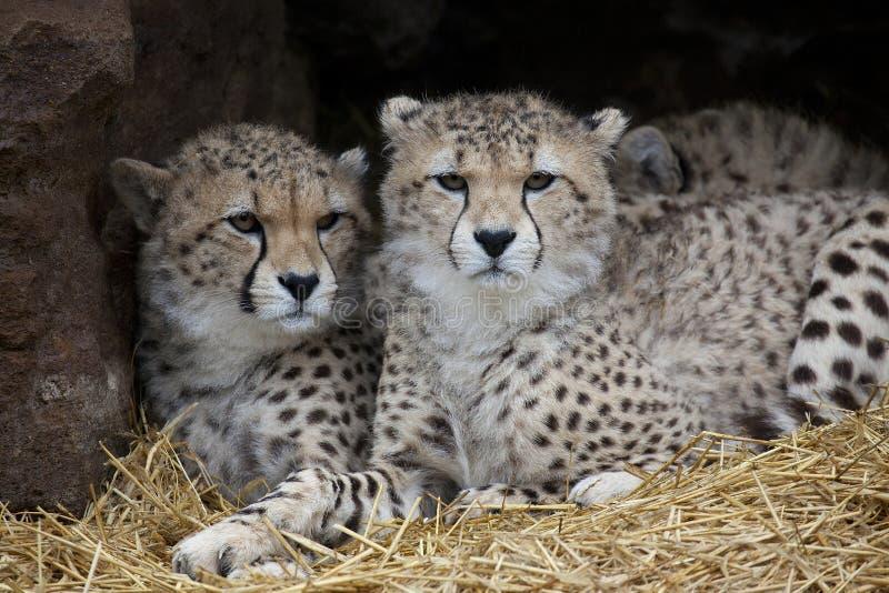 Porträt des zwei Junge-Gepards stockfotos