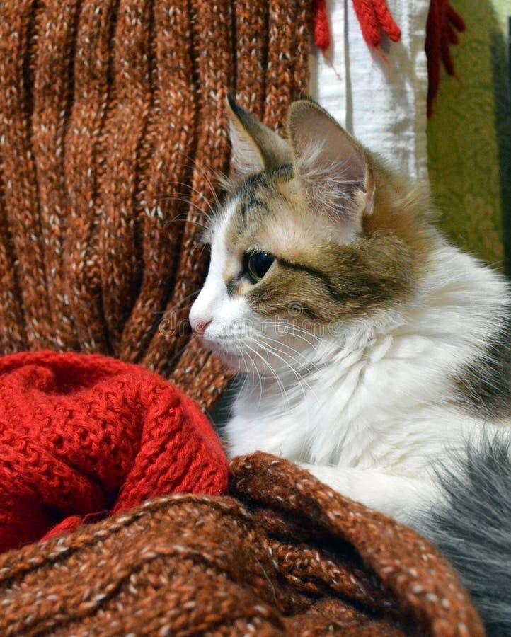 Porträt einer dreifarbigen Katze auf dem Hintergrund von woolen Schals stockfotografie