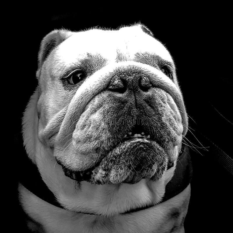 Porträt einer englischen Bulldogge stockbild