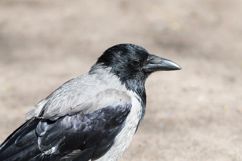 Porträt einer grauen Krähe stockfotos