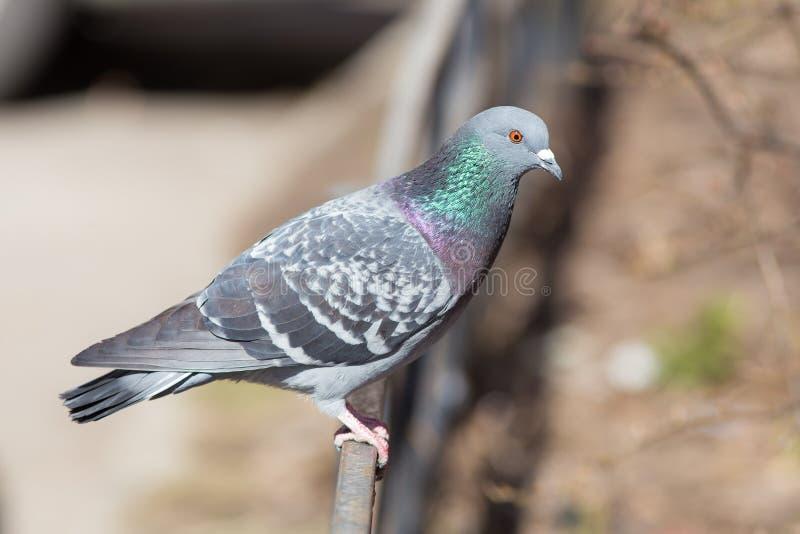 Porträt einer grauen Taube lizenzfreie stockfotografie