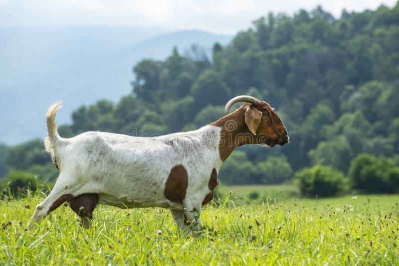 Porträt einer Kindermädchenziege, die durch grünes Gras geht stockbild