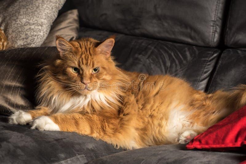 Porträt einer männlichen Katze jungen Maine-Waschbären auf grauer Couch stockfotografie