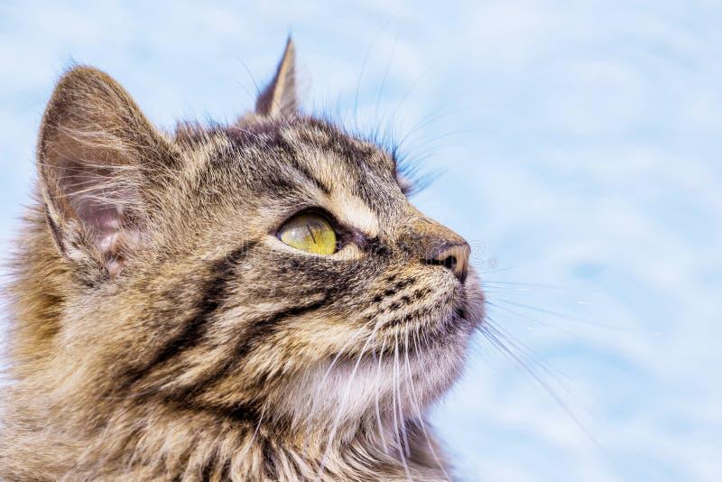 Porträt einer Nahaufnahme im Profil eines grauen gestreiften flaumigen Katze _ lizenzfreie stockfotos