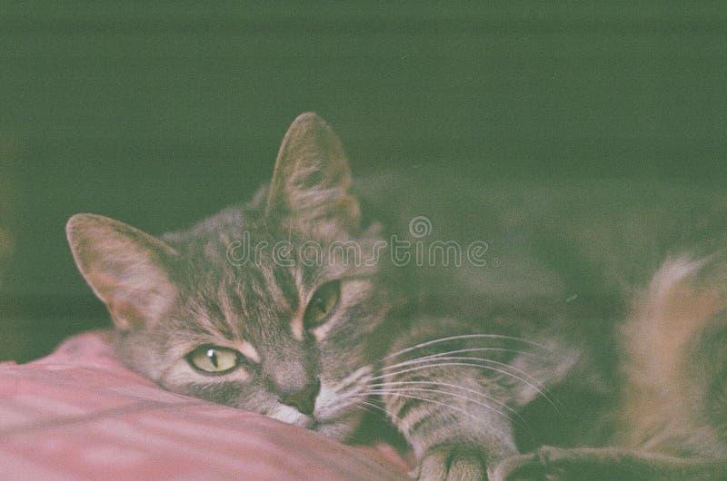 Porträt einer netten Katze, die auf einem Kissen, Foto gemacht auf Kamerarolle, Retro- Effekt liegt lizenzfreie stockfotografie