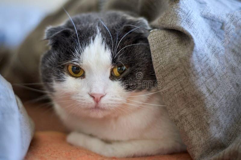 Porträt einer netten Katze mit Hängeohren, die unter der Decke auf dem Bett liegt, Nahaufnahme lizenzfreies stockfoto