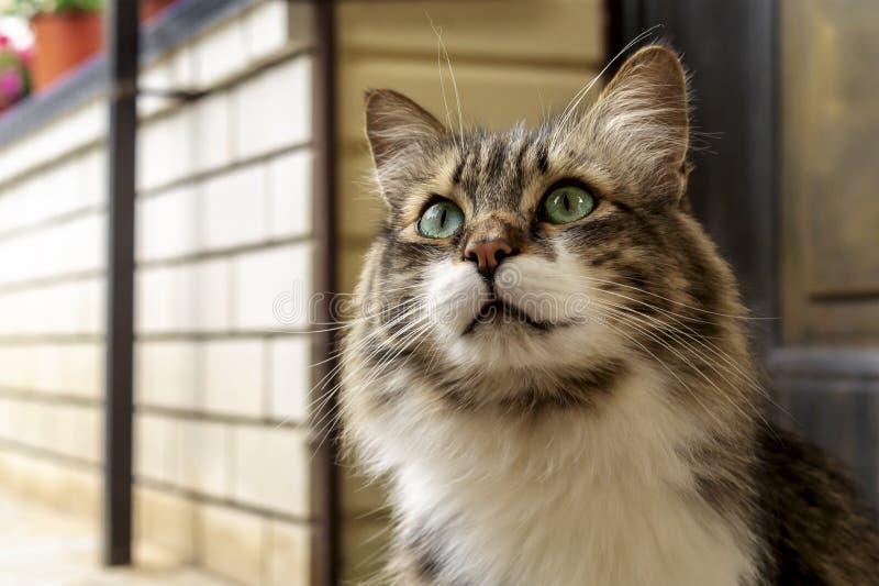 Porträt einer schönen drei-farbigen Katze mit grünen Augen und langem Pelz Sie aufpassend und auf Liebkosung wartend Abschluss ob lizenzfreies stockbild