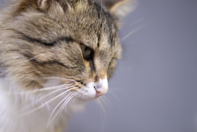 Porträt einer schönen flaumigen netten Katze stockfotografie