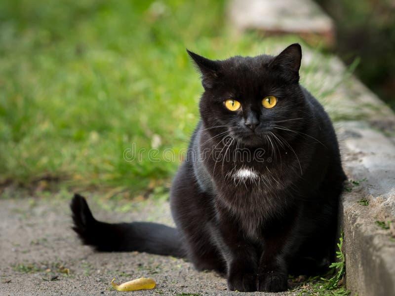 Porträt einer schwarzen Katze, die in die Kamera anstarrt stockfotografie