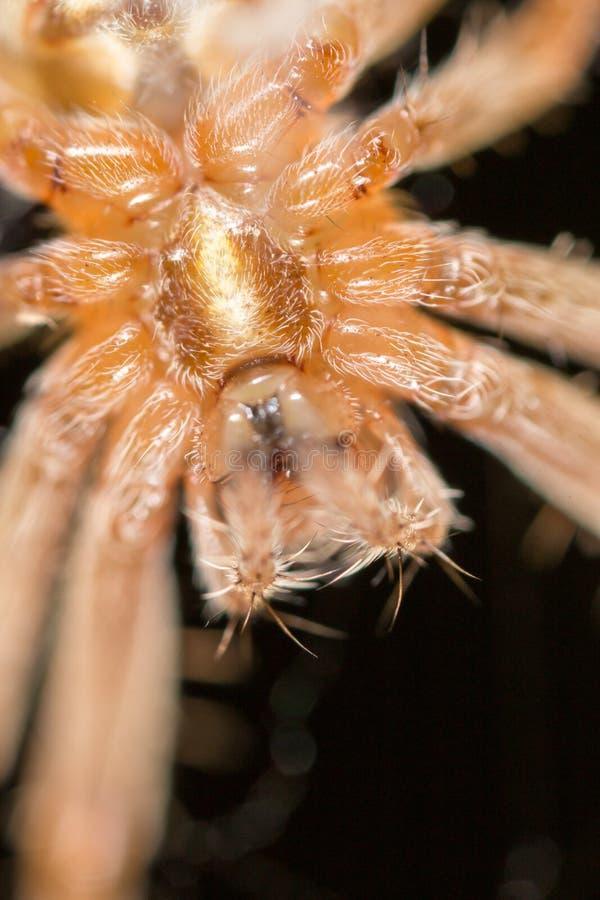 Porträt einer Spinne abschluß lizenzfreie stockfotografie