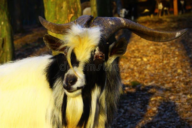 Porträt einer Ziege stockfoto