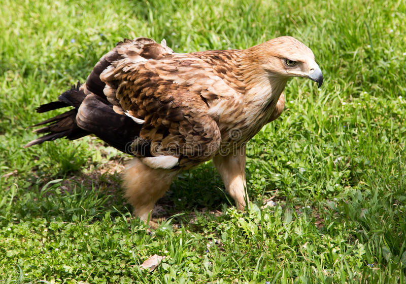 Porträt eines Adlers auf einem Hintergrund des grünen Grases lizenzfreie stockbilder