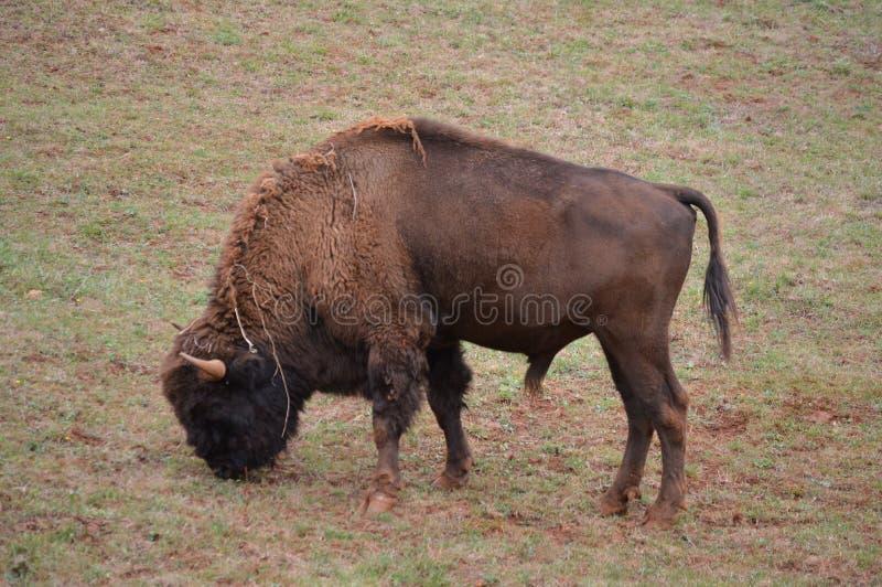 Porträt eines Amerikaner-Bison Grazing In The Natural-Parks alten Bergwerkes Cabarceno für Extraktion des Eisens Der Karneval von stockfotografie