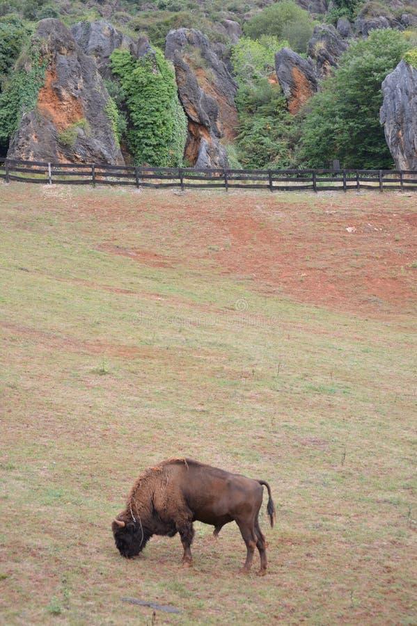 Porträt eines Amerikaner-Bison Grazing In The Natural-Parks alten Bergwerkes Cabarceno für Extraktion des Eisens Der Karneval von lizenzfreies stockfoto