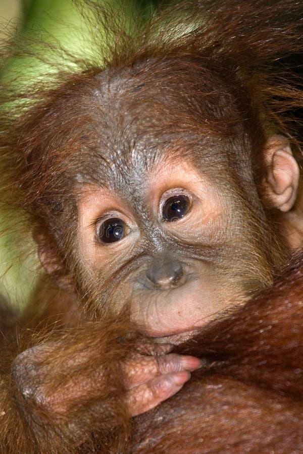 Porträt eines Babyorang-utans Nahaufnahme indonesien Die Insel von Kalimantan u. von x28; Borneo& x29; lizenzfreie stockfotografie