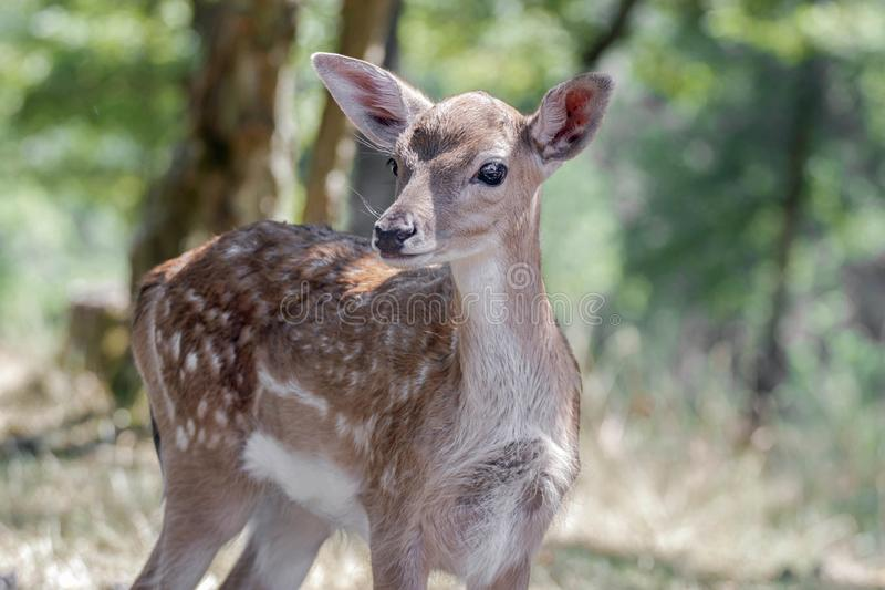 Porträt eines bambi Rotwilds stockbilder