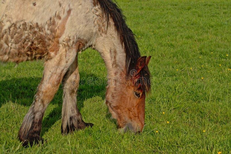 Porträt eines belgischen Entwurfspferds, das in einer Wiese weiden lässt stockbilder