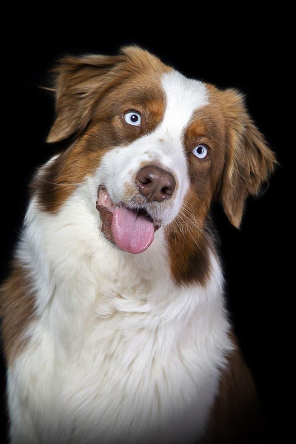 Porträt eines Braun- und weißenaustralischen Schäfers lizenzfreies stockfoto